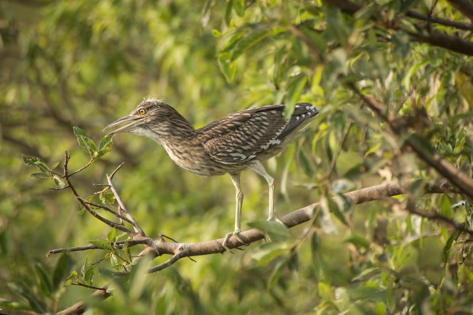 Mysore bird life - Bittern