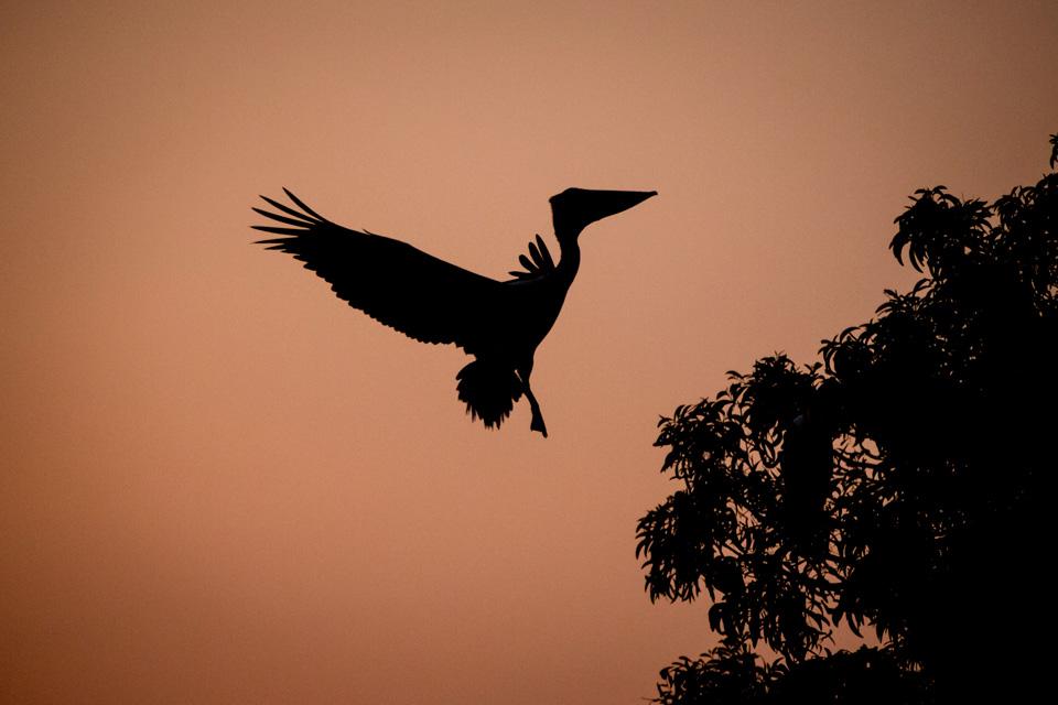 Mysore bird life - Spot-billed Pelican