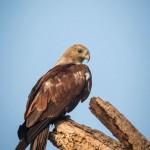 Mysore bird life - Juvenile Brahminy kite