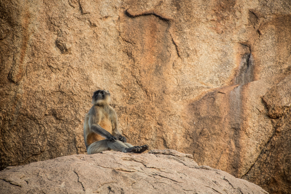 Hampi - Grey Langur in Virupapur Gaddi