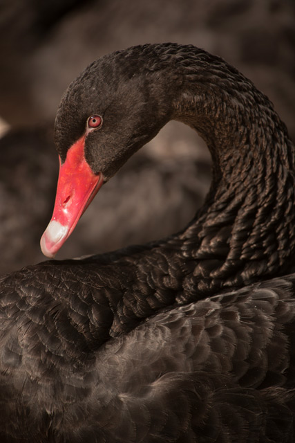 Mysore bird life – Black Swan