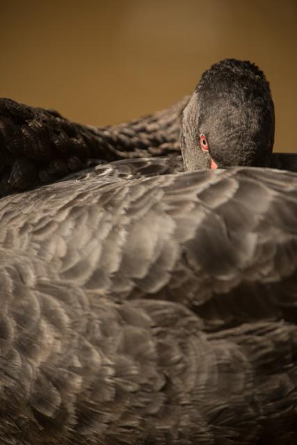 Mysore bird life – Black Swan