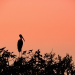 Mysore bird life – Painted Stork