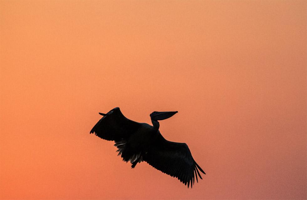 Mysore bird life – Spot-billed Pelican