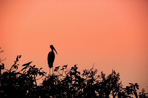 Mysore bird life – Painted Stork - Featured Image