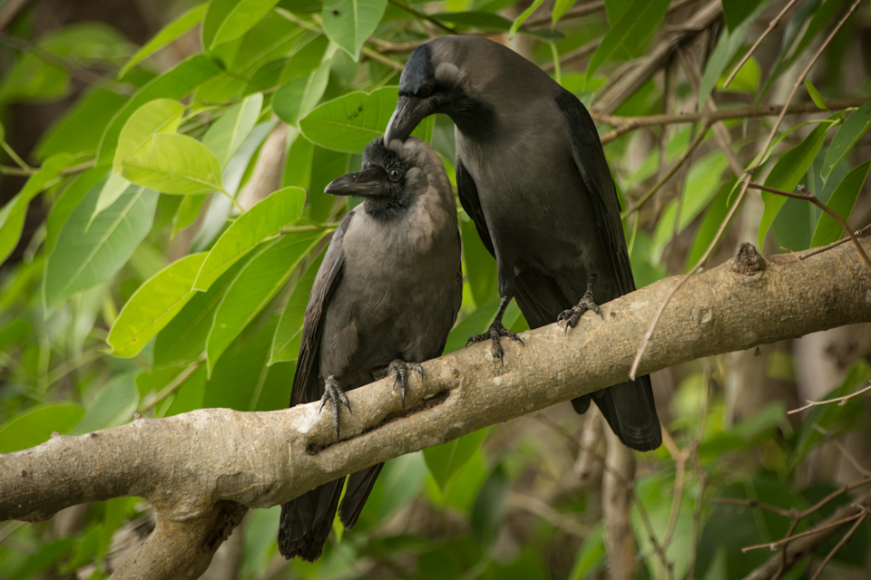 Mysore bird life - Crows