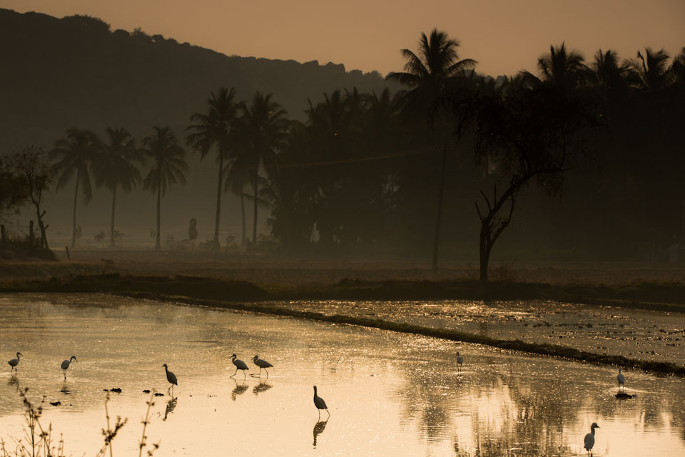 Hampi - Morning egrets
