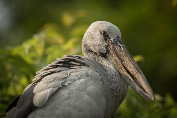 Birds of India: Anastomus oscitans - Feature