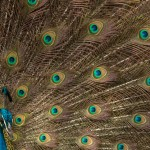 india_peacock-3