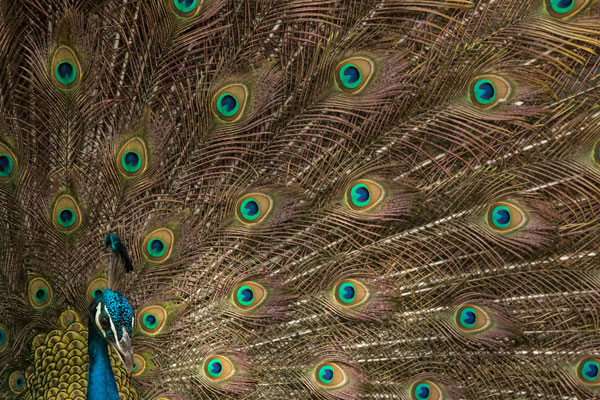 Birds of india: Pavo cristatus - Feature