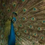 india_peacock-4