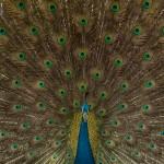 india_peacock-5