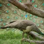 india_peacock-6