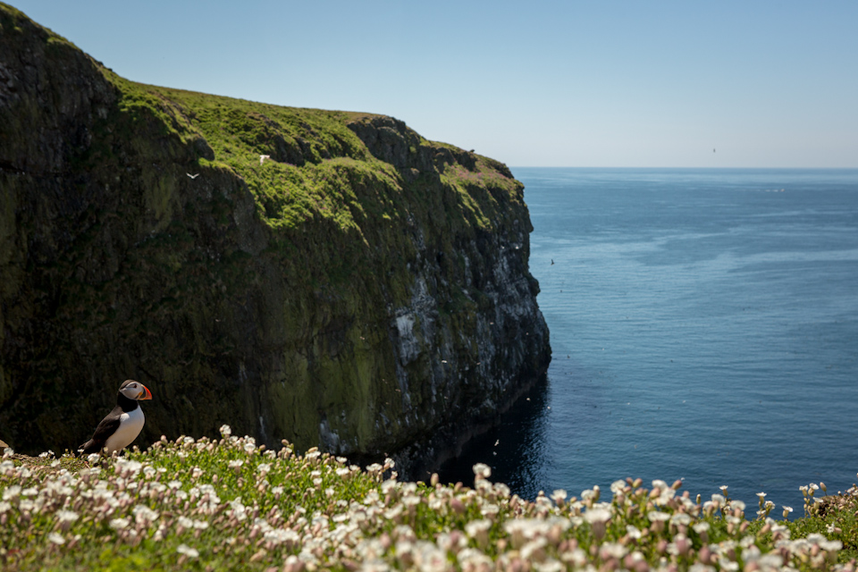 Puffins In Pembrokeshire - The Wick