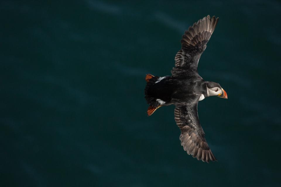 Puffins In Pembrokeshire - In Flight