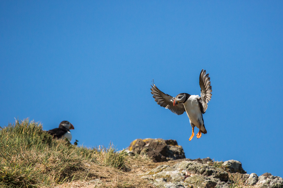 Puffins In Pembrokeshire