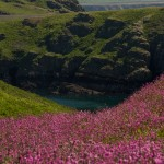 Puffins In Pembrokeshire - Red Campion fields
