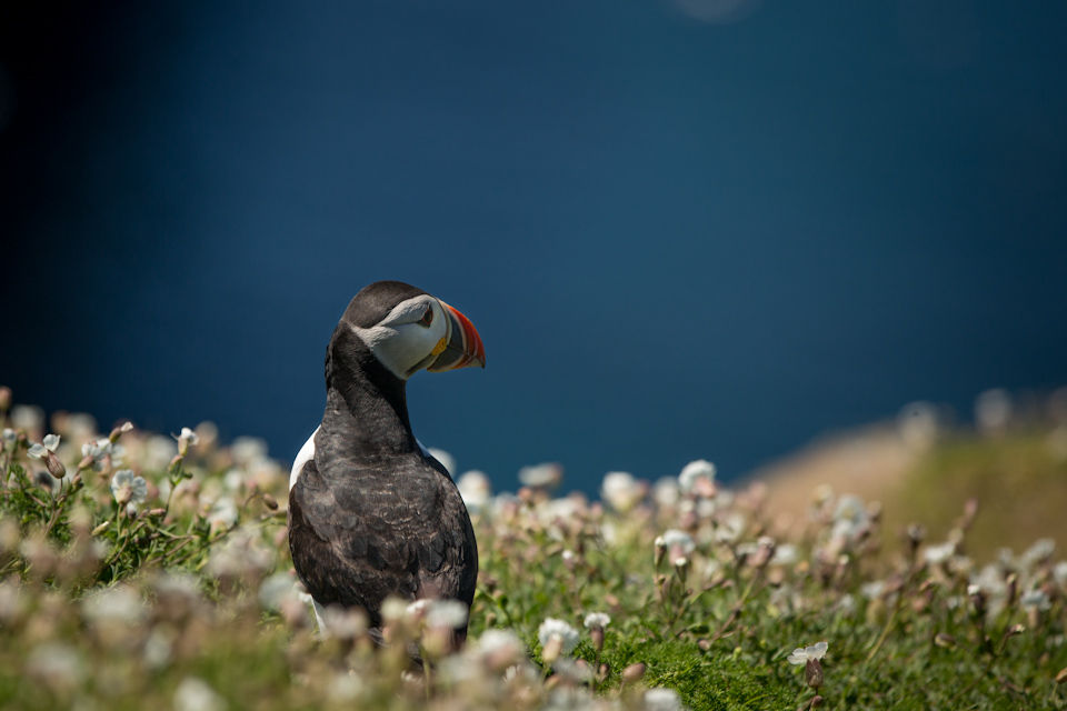 Puffins In Pembrokeshire - Looking over the Wick