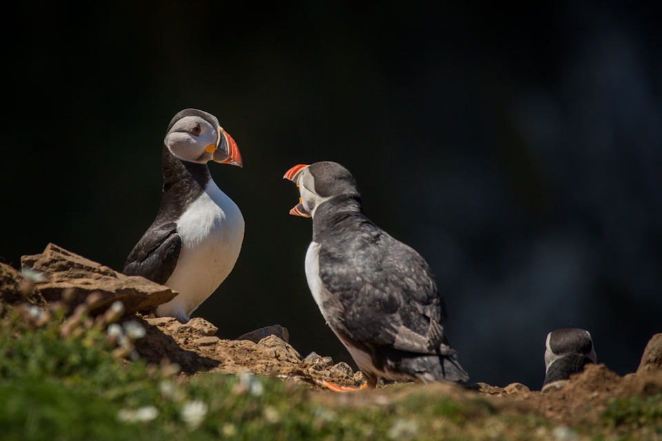 Puffins In Pembrokeshire - Fighting for space