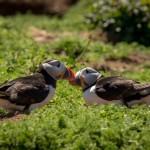 Puffins In Pembrokeshire - Companionship