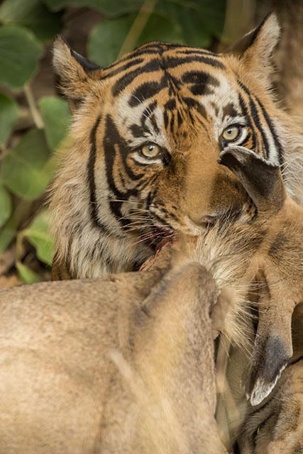 Panthera tigris tigris - Hunting Sambar Deer