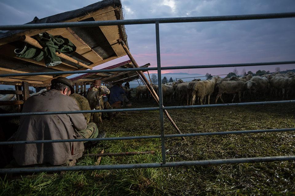 Salaš - First Milking sheep
