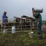Salaš - Milking