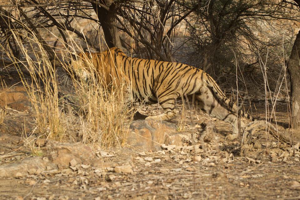 Panthera tigris tigrisPanthera tigris tigris - Stalking prey
